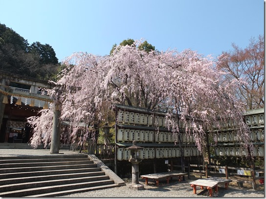 2017京都桜 289