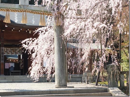2017京都桜 290