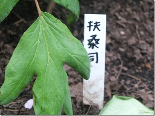 鎌倉 牡丹 桜 290