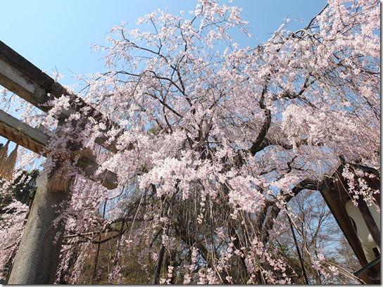 2017京都桜 292
