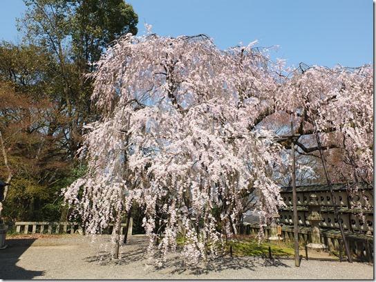 2017京都桜 297