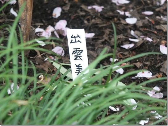 鎌倉 牡丹 桜 297