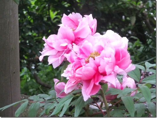 鎌倉 牡丹 桜 303