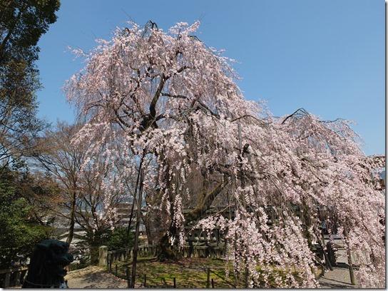 2017京都桜 304