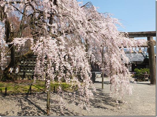 2017京都桜 306