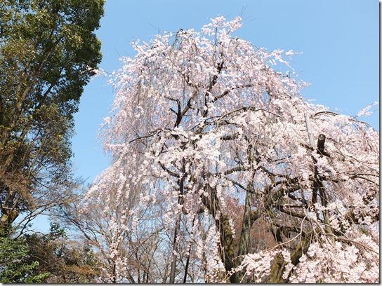 2017京都桜 307