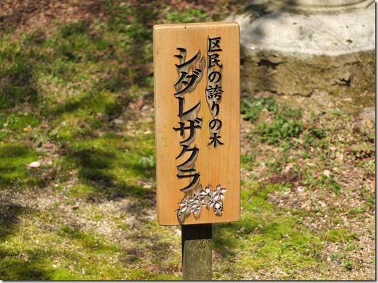 2017京都桜 311