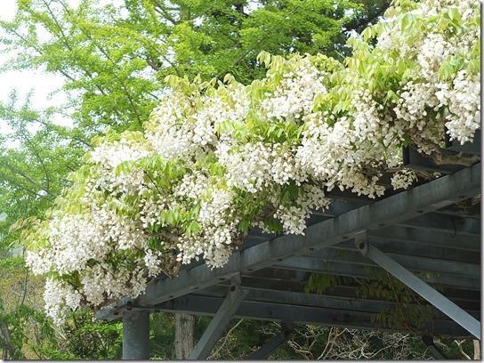 牡丹 関西 2017 311