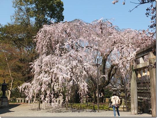 2017京都桜 317