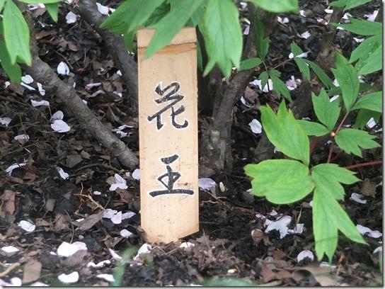 鎌倉 牡丹 桜 320