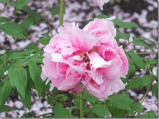 鎌倉 牡丹 桜 322