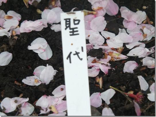 鎌倉 牡丹 桜 323