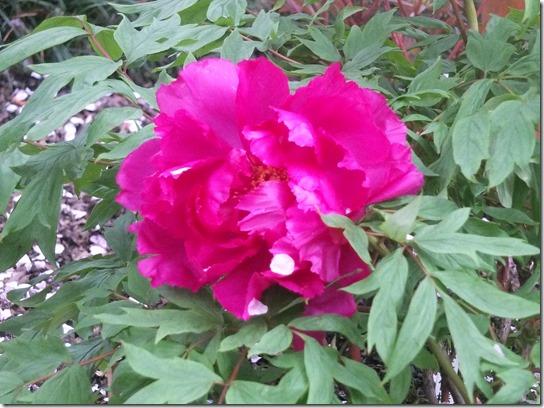 鎌倉 牡丹 桜 324