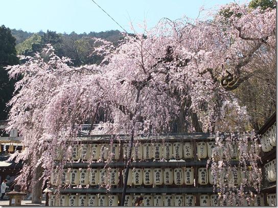 2017京都桜 326