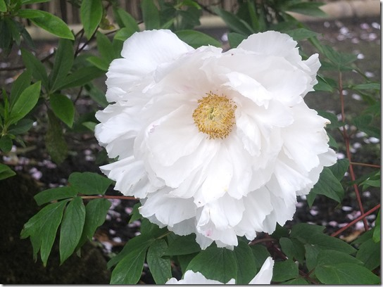 鎌倉 牡丹 桜 328