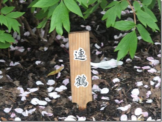 鎌倉 牡丹 桜 329