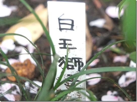 鎌倉 牡丹 桜 331