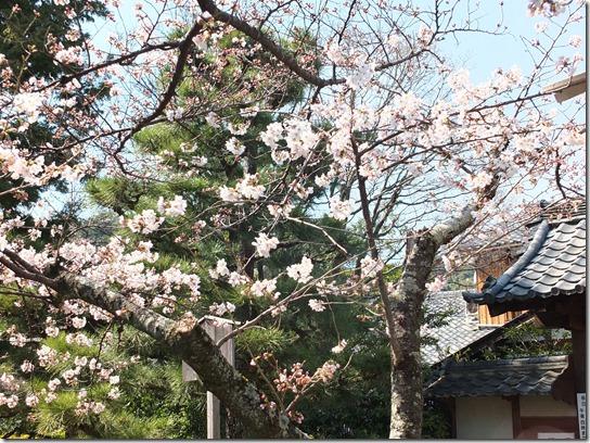 2017京都桜 337