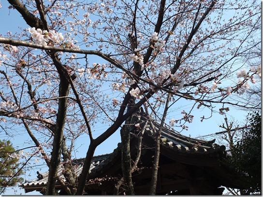 2017京都桜 339