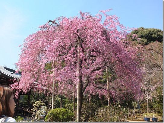 2017京都桜 349