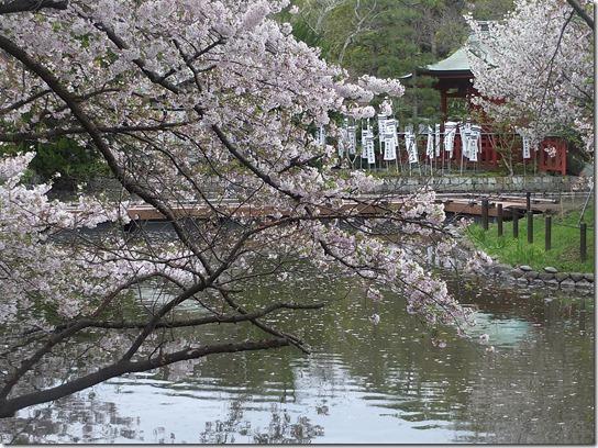 鎌倉 牡丹 桜 350