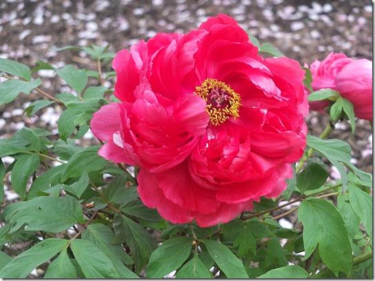 鎌倉 牡丹 桜 354