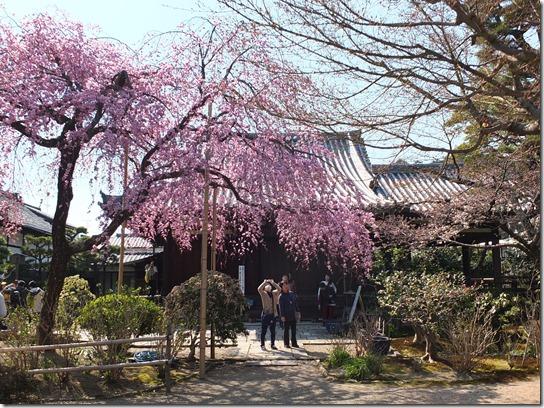 2017京都桜 358