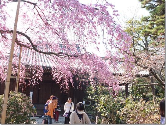 2017京都桜 360