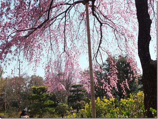 2017京都桜 361