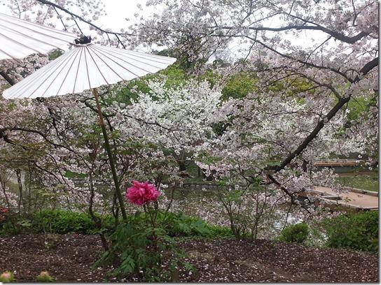 鎌倉 牡丹 桜 362