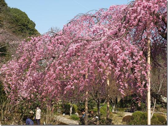 2017京都桜 365