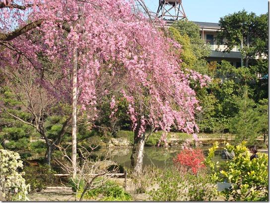 2017京都桜 366
