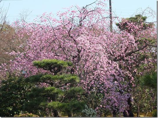 2017京都桜 367
