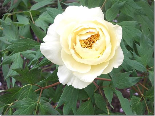 鎌倉 牡丹 桜 367