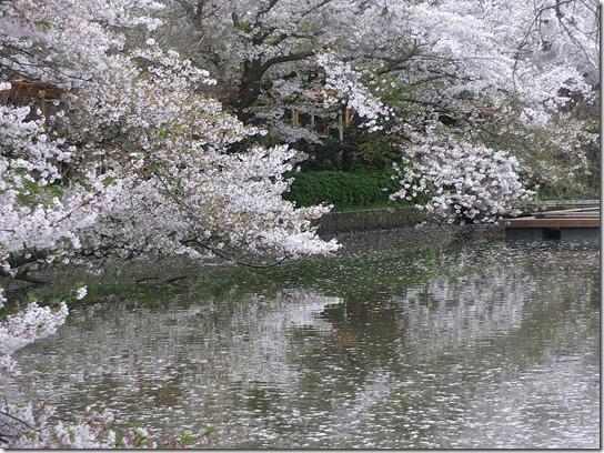 鎌倉 牡丹 桜 369