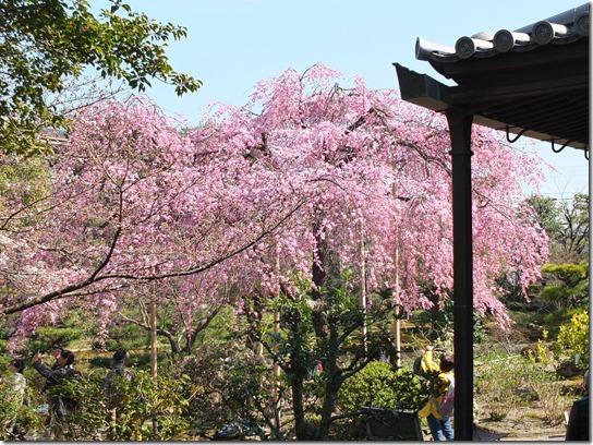 2017京都桜 373