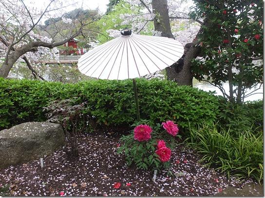 鎌倉 牡丹 桜 376