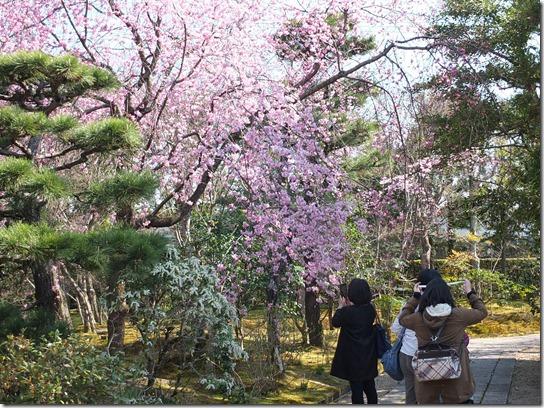 2017京都桜 377