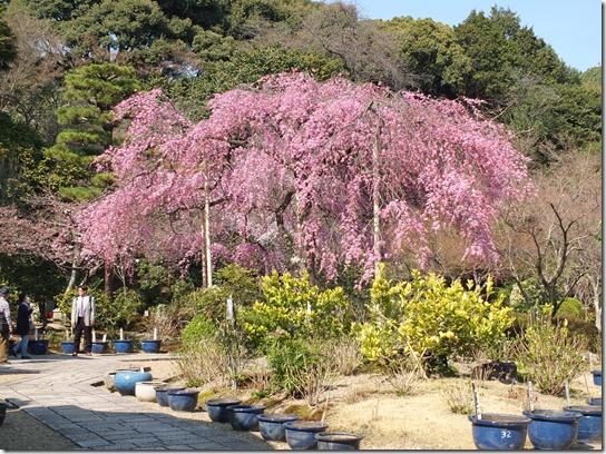 2017京都桜 378