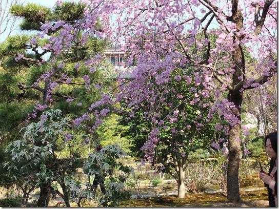 2017京都桜 379