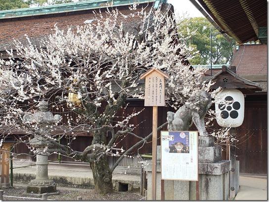 2017 関西 梅 384
