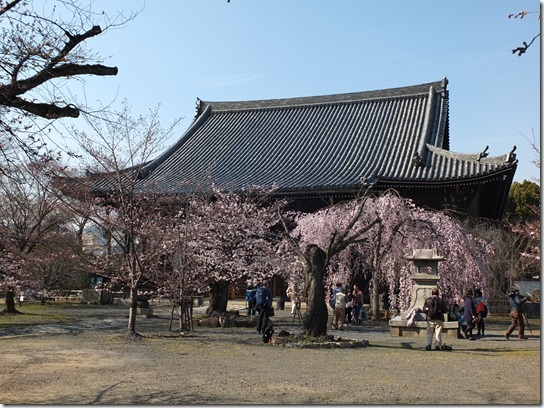 2017京都桜 384