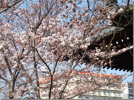 2017京都桜 385