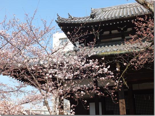 2017京都桜 386