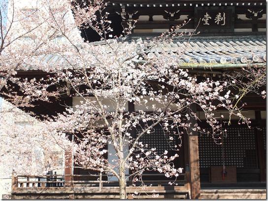 2017京都桜 387