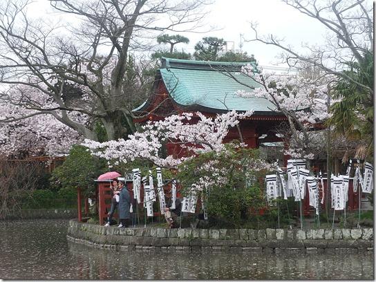 鎌倉 牡丹 桜 389