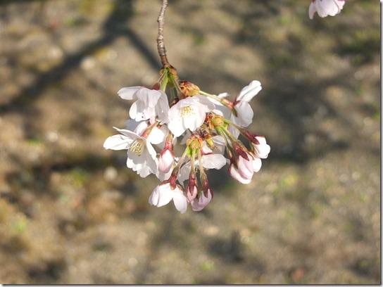 2017京都桜 396