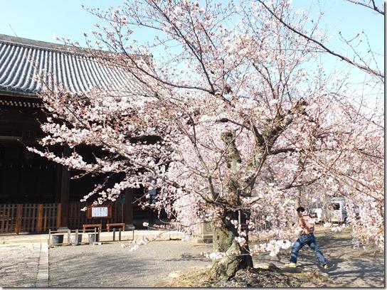 2017京都桜 404