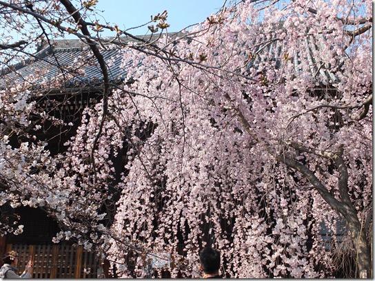 2017京都桜 411