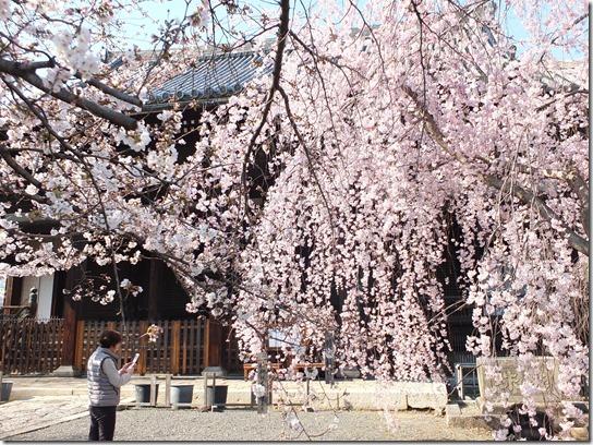 2017京都桜 415
